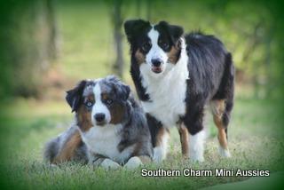 Southern Charm Mini Aussies   Winston, GA 30187
